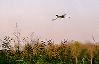Motta Baluffi (Cremona). Fagiano in volo sui campi. Pheasant in flight over the fields