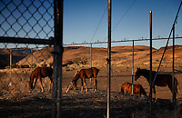 Hungry wild horses forage at an abandoned industrial site east of Reno, ironically at the Mustang exit.<br />