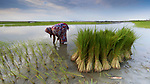 Hasina Begom plants rice in Kunderpara, a village on an island in the Brahmaputra River in northern Bangladesh.