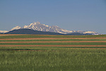Longs Peak rises above wheat fields east of Boulder, Colorado, USA.