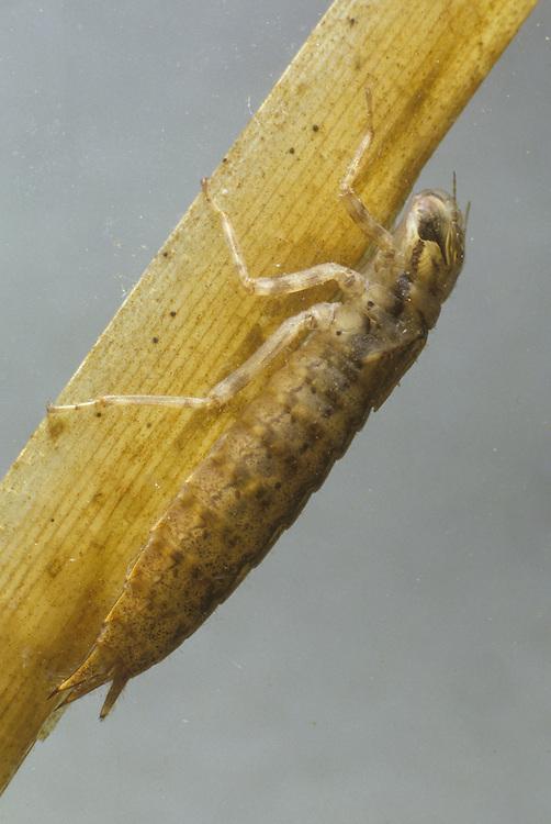 Dragonfly Nymph - Aeshna cyanea