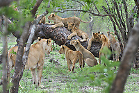 Lioness (Panthera leo) on playground duty with cubs