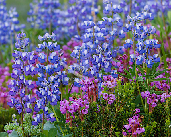 Pink Mountain Heather (Phyllodoce empetriformis) and Broadleaf Lupine (Lupinus latifolius)--wildflowers.  Subalpine meadow.  Washington Cascade Mountains, July.