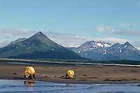 Grizzly Bear--sow with yearling cub--digging for razor clams on an Alaskan Peninsula beach, Katmai National Park.  Summer.