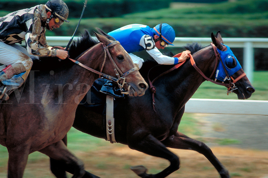 Horses and their jockeys race toward the finish line neck and neck. United States.