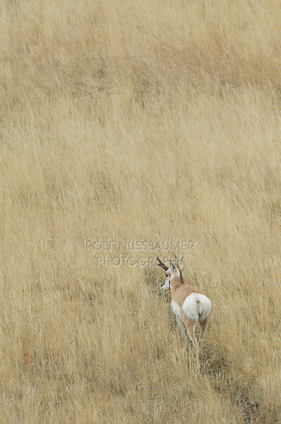 Pronghorn, Antilocapra americana, male walking in grass, Yellowstone NP,Wyoming, September 2005
