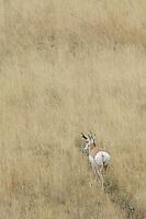 Pronghorn, Antilocapra americana, male walking in grass, Yellowstone NP,Wyoming, September 2005