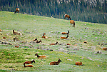 Elk in Rockies National Park, Colorado.