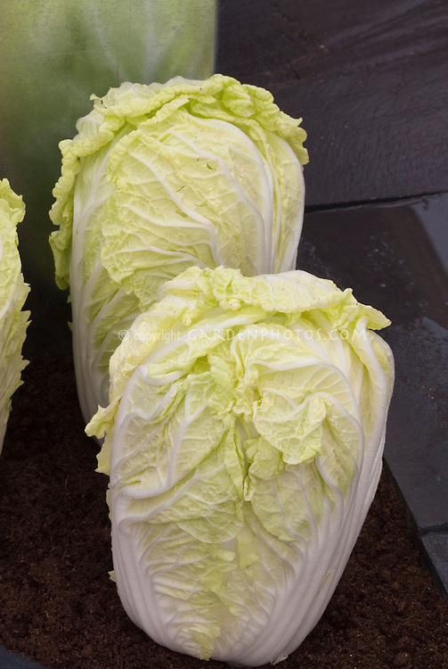 Cabbage, chinese, Brassica campensis Pekinensis Group (Pe-tsai) form Che-foo (could be `Che-foo,' `Wong Bok,' `Spring Giant,' `Tokyo Giant,' `Tropical Pride,' `Tropical Delight,' `Early Top,' `Tip Top,' `China King,' `Winter Giant,' `Oriental King,' and `Winter Knight')