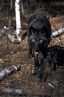 Black Wolf Walking  #Z9