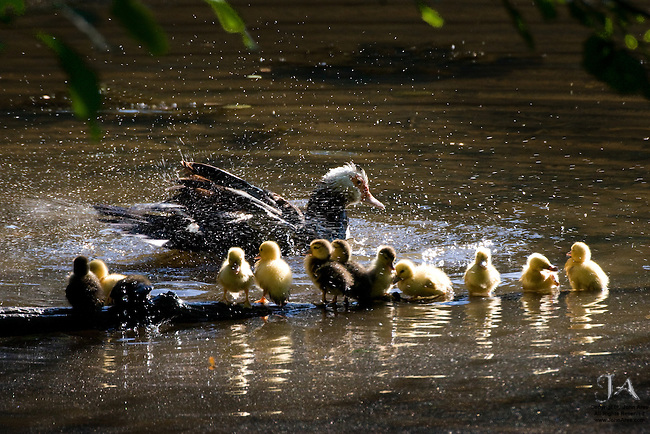 Mother Muscovery duck giving her 11 ducklings a shower