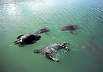 green sea turtles mating at Black Turtle Cove