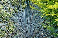 Blue Oat Grass - Helictotrichon sempervivens