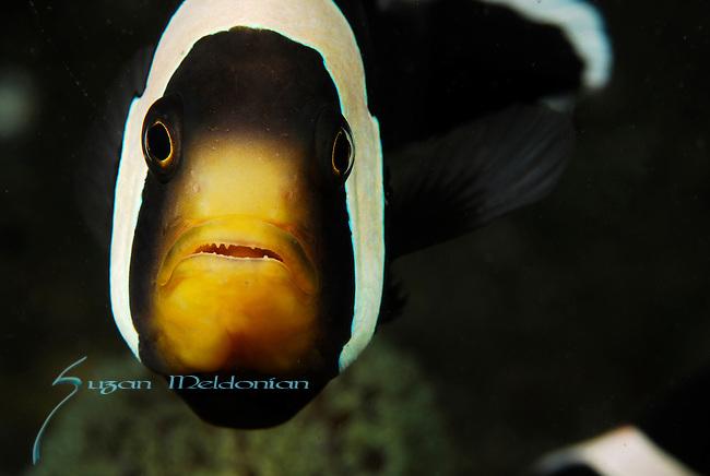 Anemone fish ; Lembeh Straits; Sulawesi Sea; Indonesia; Amazing Underwater Photography