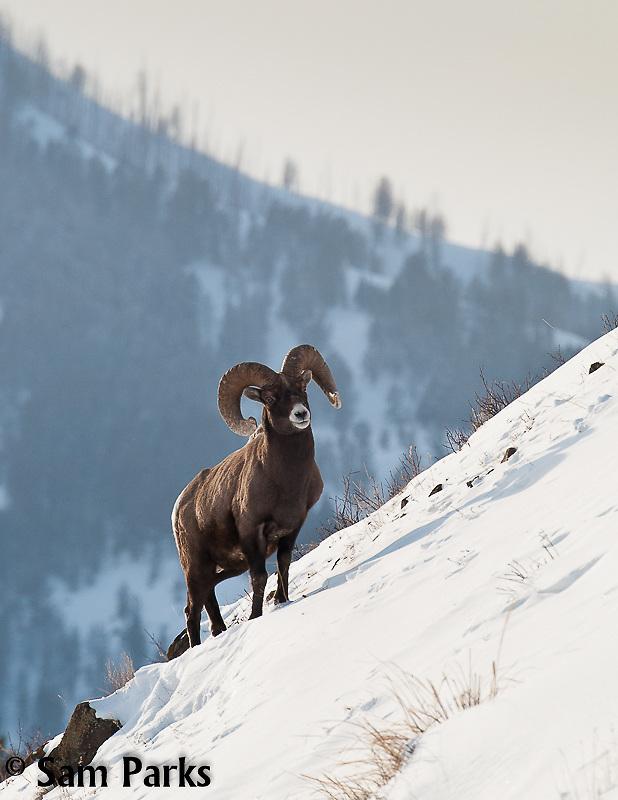 Bighorn sheep ram during winter. Yellowstone National Park, Wyoming.