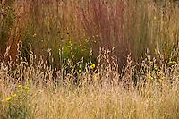 Bouteloua gracilis (blue grama grass) flowering in Porter Plains Garden meadow at Denver Botanic Garden in front of Schizachyrium virgatum (swithchgrass)