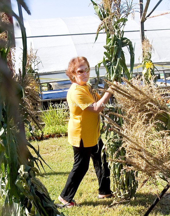 CHESHIRE, CT. 19 September 2011-091911SV08--Judy Longo of Prospect gathers corn stalks for decorating at Zentek Farm Market n Cheshire Monday. Longo buys so many stalks she usually makes 4 or 5 trips with her car. <br /> Steven Valenti Republican-American