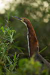 Rufescent Tiger-Heron (Tigrisoma lineatum), Ibera Provincial Reserve, Ibera Wetlands, Argentina