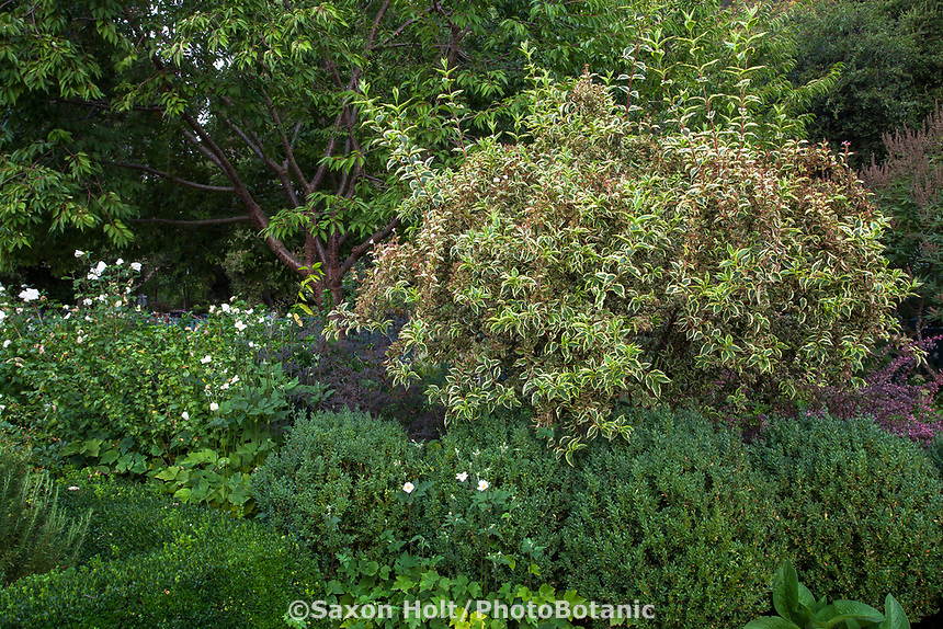 Weigela florida 'Variegata' Gamble Garden, variegated weigela  shrub; GmbleGarden Palo Alto, California
