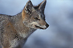 Close-up of Grey Fox. Torres del Paine National Park, Chile