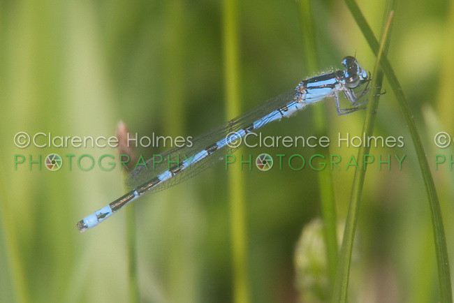 New England Bluet (Enallagma laterale) Damselfly - Male, Quick Pond, Stillwater Township, Sussex County, New Jersey