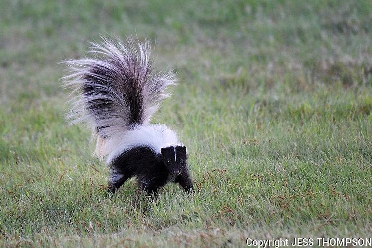 Hooded Skunk, San Angelo, Texas
