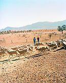 AUSTRALIA, Rawnsley Park Station, the Outback, flock of sheep on field with father and son in background