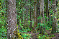 ORCAN_D197 - USA, Oregon, Mount Hood National Forest, Salmon-Huckleberry Wilderness, Old growth coniferous forest with Douglas fir, western hemlock and western red cedar.