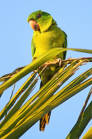 Green parakeet. A large flock of green parakeets gathers in the late afternoon in McAllen, TX before going to their roosting place for the night. The birds preen, fight and squawk.Quite a sight.