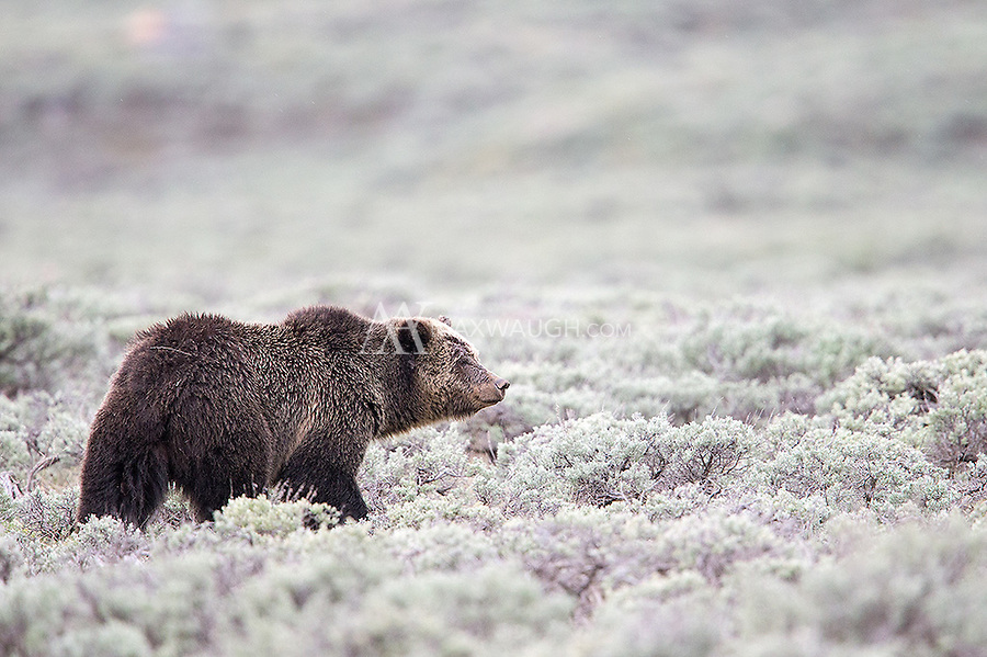 A grizzly bear sow pauses while digging for food in the sage.