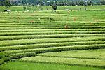 Broad view of rice fields, Canggu, Bali