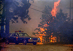 August 19, 1992 Angels Camp, California -- Old Gulch Fire— Tree flares up on Fullen Road.  The Old Gulch Fire raged over some 18,000 acres, destroying 42 homes while threatening the Mother Lode communities of Murphys, Sheep Ranch, Avery and Forest Meadows.