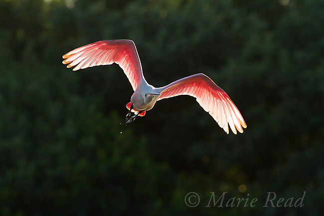 Roseate Spoonbill (Ajaia ajaja) adult in breeding plumage, in flight, backlit against a dark background, Tampa Bay, Florida, USA