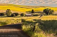 Rural road winding through contoured hills of wheat and canola crops, Palouse region of eastern Washington.