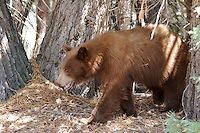 BROWN BLACK BEAR PROWLING THE FOREST