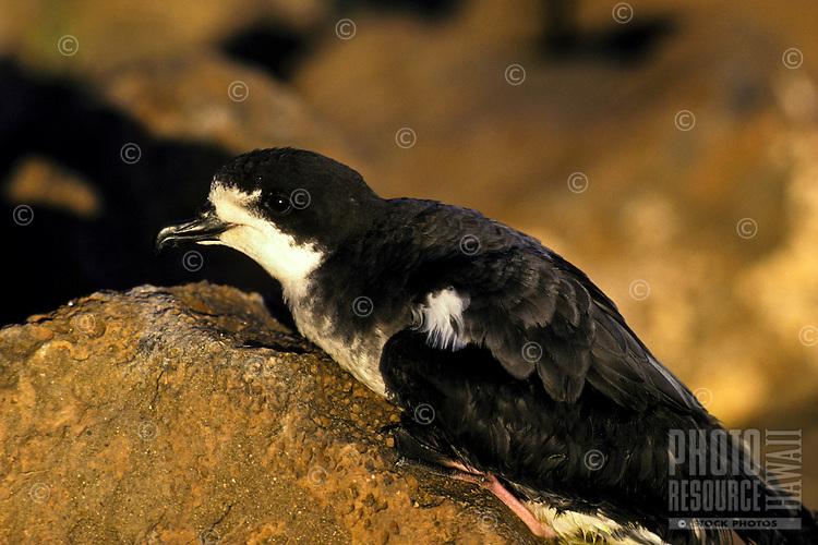 Seabird, Petrel endangered dark rump