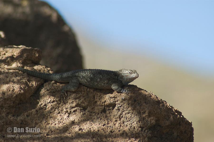Clark?s spiny lizard, Sceloporus clarkii. Arizona-Sonora Desert Museum, Tucson, Arizona