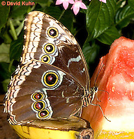 0101-0909  Blue Morpho Butterfly Feeding on Fruit, Morpho peleides, South and Central America © David Kuhn/Dwight Kuhn Photography