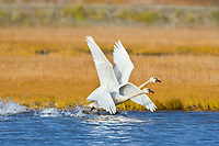 Tundra swan migrate through Solomon, Seward Peninsula, western Arctic, Alaska, during the autumn migration.