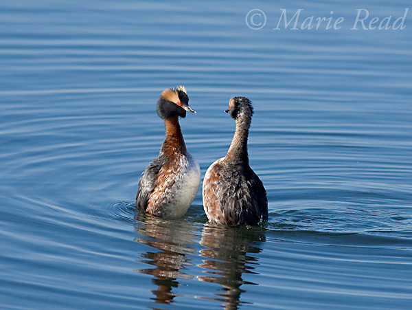 Horned Grebes (Podiceps auritus) pair during courtship display, Bolsa Chica Ecological Reserve, California, USA