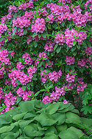 ORPTC_D215 - USA, Oregon, Portland, Crystal Springs Rhododendron Garden, Pink blossoms of rhododendrons in bloom above leaves of hosta.