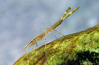 Gebänderte Prachtlibelle, Pracht-Libelle, Larve, Nymphe, Calopteryx splendens, Agrion splendens, banded blackwings, banded agrion, larva, larvae, nymph
