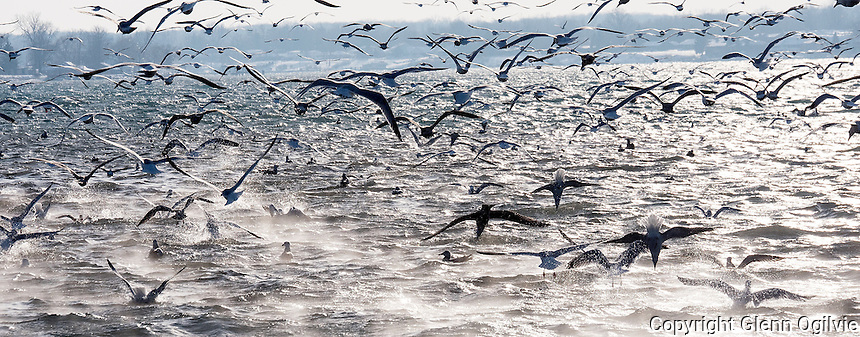 Hundreds, if not thousands of seagulls and terns  found an afternoon snack at the the mouth of Talford Creek and the St. Clair River in Froomfield.