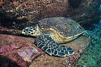 hawksbill sea turtle, Eretmochelys imbricata, Flinders Reef, Moreton Bay Marine Park, Brisbane, Queensland, Australia, Pacific Ocean