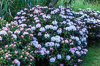 France, Manche (50), Vauville, Jardin botanique du château de Vauville, massif de rhododendrons, ici un rhododendron yac (Rhododendron degronianum subsp. yakushimanum)