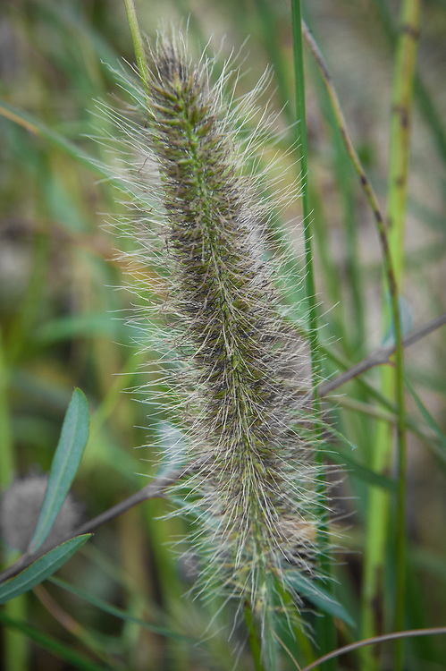 "Pennisetum alopecuroides 'Herbstzauber', late September. ""A form of Feather Grass from Germany, large, dark  bottle-brush flowers in late summer"" (Marchants Hardy Plants)"