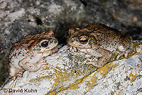 1101-0808  Pair of Adult Red-spotted Toad (Southwestern United States), Anaxyrus punctatus, formerly Bufo punctatus  © David Kuhn/Dwight Kuhn Photography.