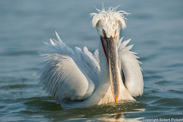 Dalmatian Pelican, Pelecanus crispus, in Breeding Plumage, Kerkini Lake, Greece, Vulnerable IUCN Red List 2007 and on Appendix I of CITES