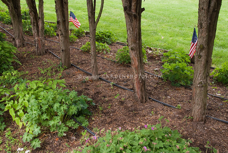 Irrigation Of Dry Shaded Garden Area By Adding Soaker Water Hoses Under  Trees; Planted Are