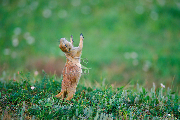 """Young Black-tailed Prairie Dog (Cynomys ludovicianus) signaling (some experts believe this is an """"all clear"""" or """"I'm OK"""" signal)."""